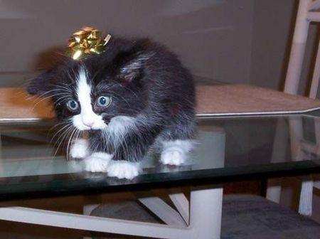 Kitten_Bow.jpg